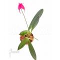 Orchid 'Masdevallia barlaeana'