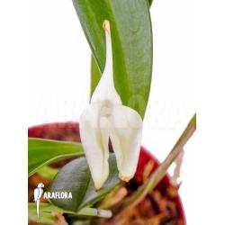 Masdevallia coccinea alba flower