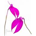 Orchid 'Masdevallia coccinea Pink'