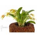 Orchid 'Masdevallia garciae'