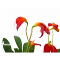 Orchid 'Masdevallia ignea'