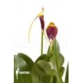 Orchid 'Masdevallia impostor'