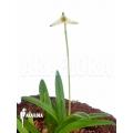Orchid 'Masdevallia minuta'