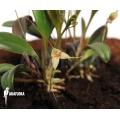 Orchid 'Masdevallia nidifica'