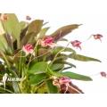 Orchid 'Masdevallia nifidica 'dark''
