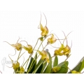 Orchid 'Masdevallia nifidica 'yellow''