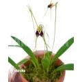Orchid 'Masdevallia oreas'