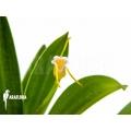 Orchid 'Masdevallia paivaeana'