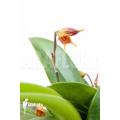 Orchid 'Masdevallia sp Karge'