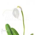 Orchid 'Masdevallia tovarensis'