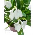 Orchid 'Masdevallia tovarensis' 'XL'