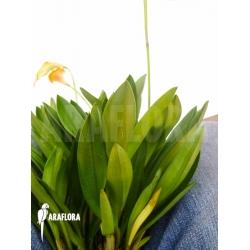 Masdevallia x yellow giant