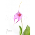 Orchid 'Masdevallia x Selphi Orion (pink)'