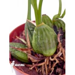 Maxillaria chrysantha