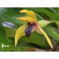 Orchid 'Maxillaria cucullata'