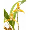 Orchid 'Maxillaria punctata'