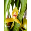 Orchid 'Maxillaria rufescens 'yellow flower''