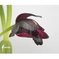 Orchid 'Maxillaria schunkeana'