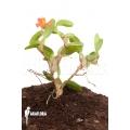 Orchid 'Maxillaria sophronitis'