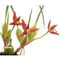Orchid 'Maxillaria tenuifolia'