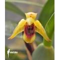 Orchid 'Maxillaria variabilis'