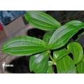 Medinilla loranthoides