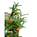 Orchid 'Mediocalcar decoratum'