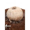 Merremia hollubii (Ipomoea hollubii)