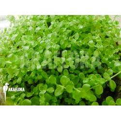 Micranthemum species 'FV01'
