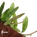 Clubmoss snakefern 'Microgramma lycopodioides '