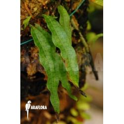 Microgramma species