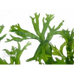 Microsorium crisped leaves