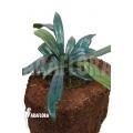Oil or blue mirror fern 'Microsorum steerei'