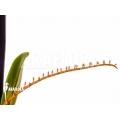 Orchid 'Microterangis hildebrandtii'