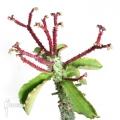 Monadenium spectabile