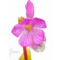 Monolena primuliflora