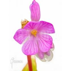 Monolena primuliflora flower