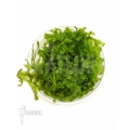 Tropical Pellia moss 'Monosolenium tenerum 'Starter'