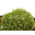 Monosolenium tenerum moss
