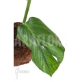 "Monstera pinnatipartita ""starter"""