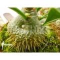 Antplant 'Myrmecodia beccarii'