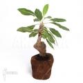 Antplant 'Myrmecodia tuberosa' 'XL'