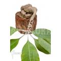 Antplant 'Myrmecodia tuberosa' 'L'