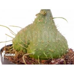 Myrmephytum beccarii