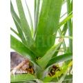 Bromeliad 'Neoregelia abendrothae'