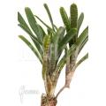 Bromeliad 'Neoregelia akeso'
