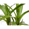 Bromeliad 'Neoregelia albiflora'