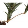 Bromeliad 'Neoregelia ampullacea' 'Black Tiger'