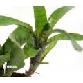 Bromeliad 'Neoregelia ampullacea' 'Green Tiger' (S)