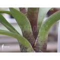 Bromeliad 'Neoregelia camorineana'
